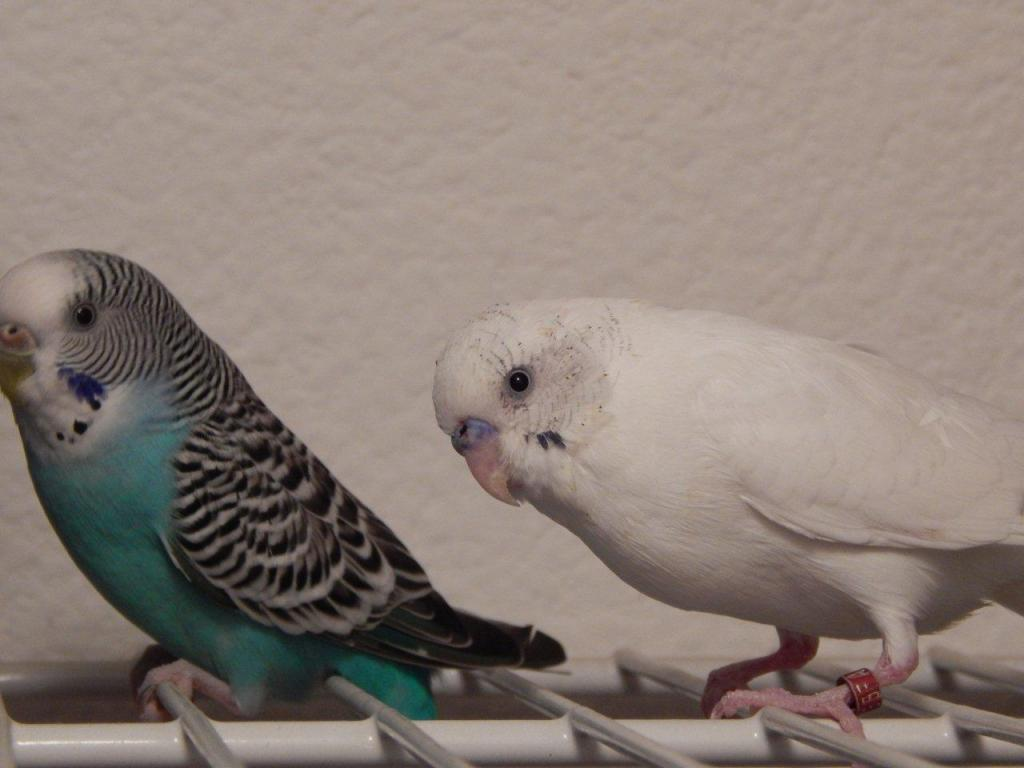 Recessive or Dominant Pied?-munch-sug.jpg