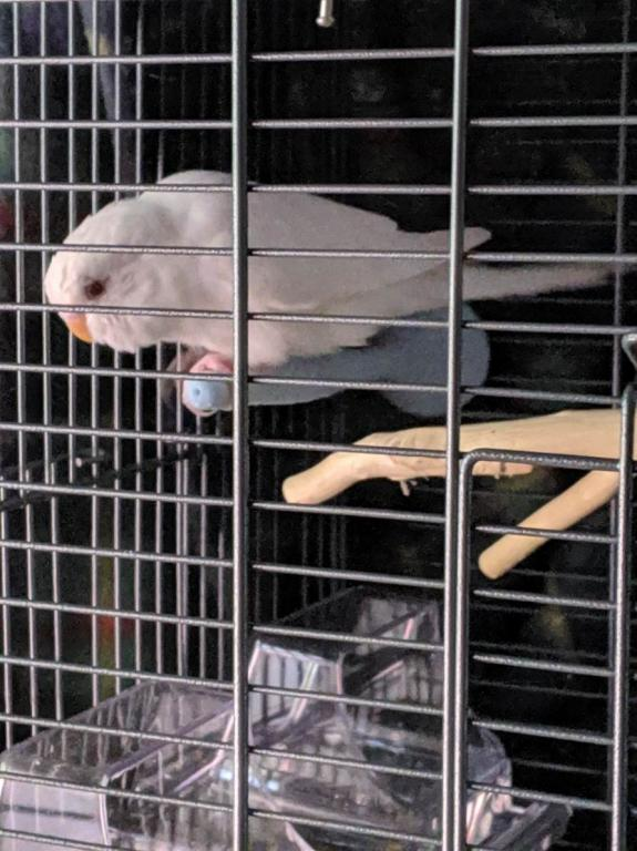 Just got an albino budgie yesterday and she's trying to escape her cage-mvimg_20190706_153715_1562457572744.jpg