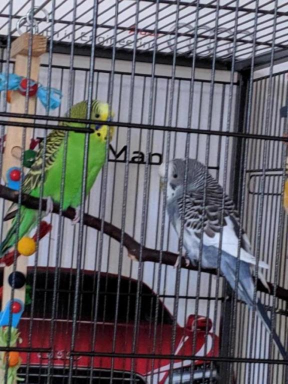 Budgies in a new cage.-mvimg_20190724_194957_1564023133077.jpg