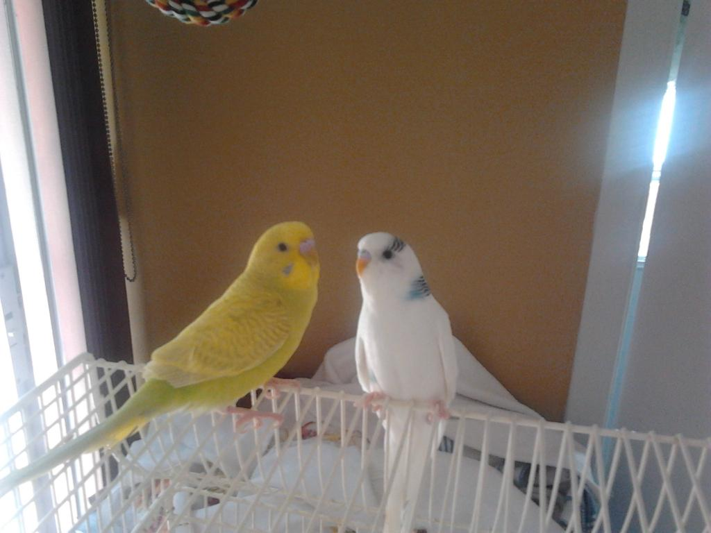 Budgie age and mutations-my-birds.jpg