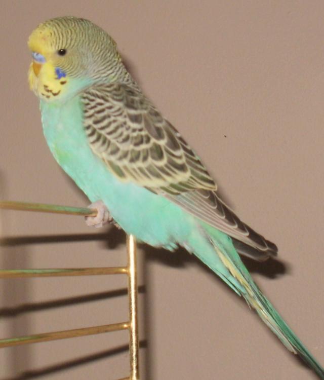 2013 Talk Budgies Bird Show-nemo.jpg