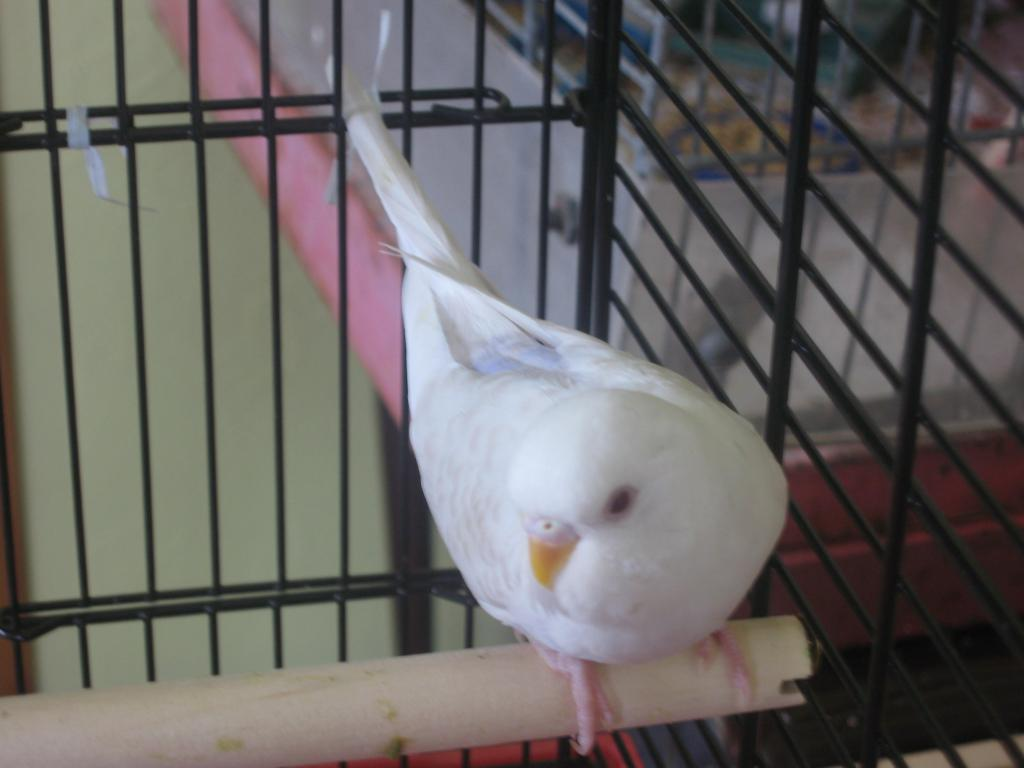 Can someone help me identify this Mutation-new-budgie-004.jpg