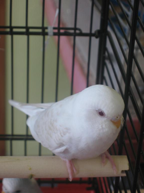 Can someone help me identify this Mutation-new-budgie-006.jpg