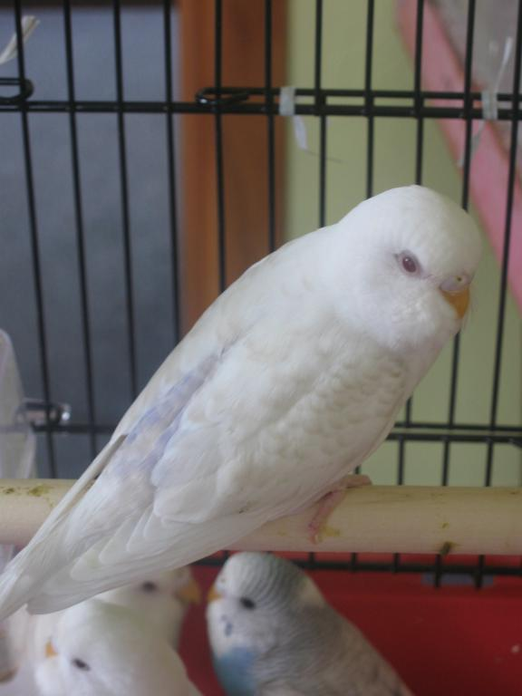 Can someone help me identify this Mutation-new-budgie-011.jpg