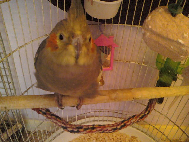 anyone know about tiels??-new-budgie-pics-09-005.jpg