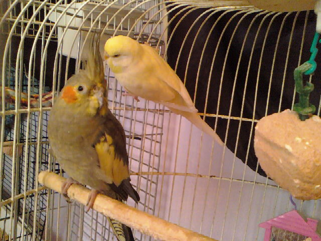 anyone know about tiels??-new-budgie-pics-09-013.jpg