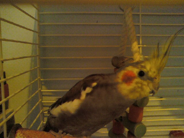 anyone know about tiels??-new-budgie-pics-09-024.jpg