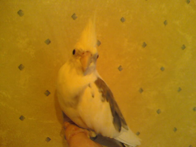 anyone know about tiels??-new-budgie-pics-09-025.jpg