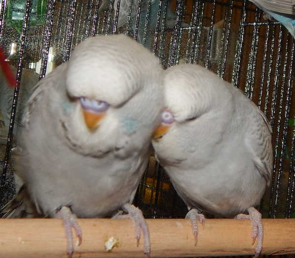 What type of budgie is Kacey????-newfluffs4.jpg