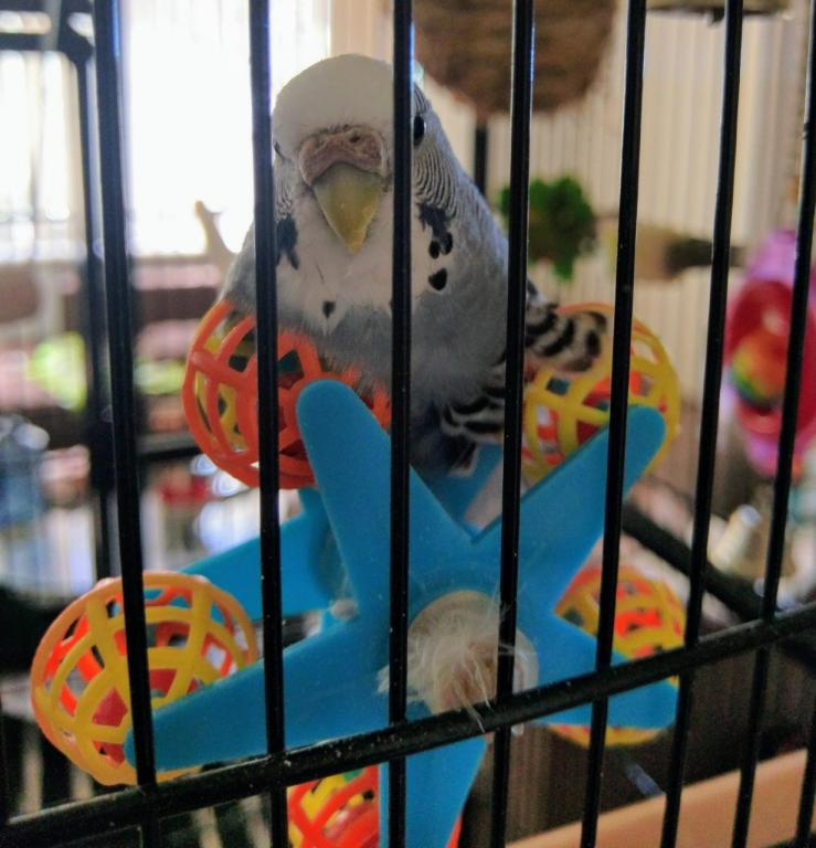 Female budgie has mated with toy - what to do?-nimbus.jpg
