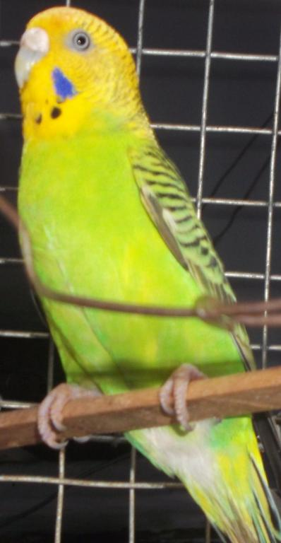 Don't know whether aggu (yellow budgie) is lutino or what..plz hlp..-nimmi..._001.jpg