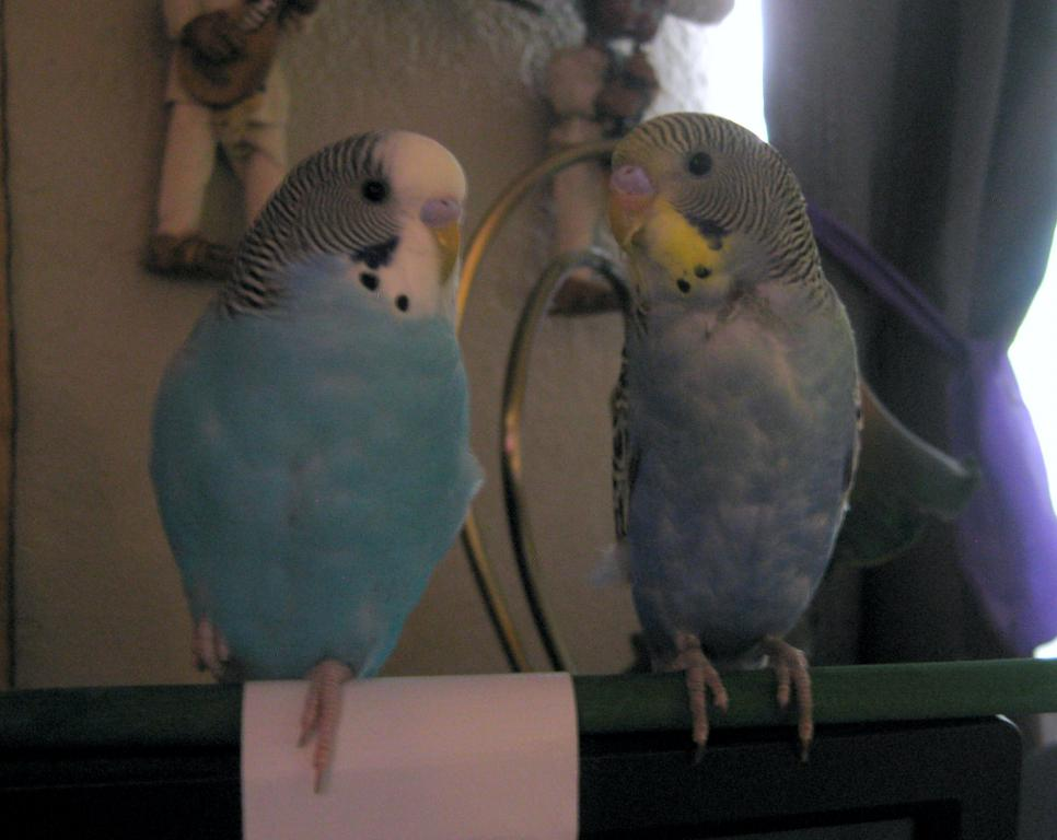 Is my budgie fat?-no-flash.jpg