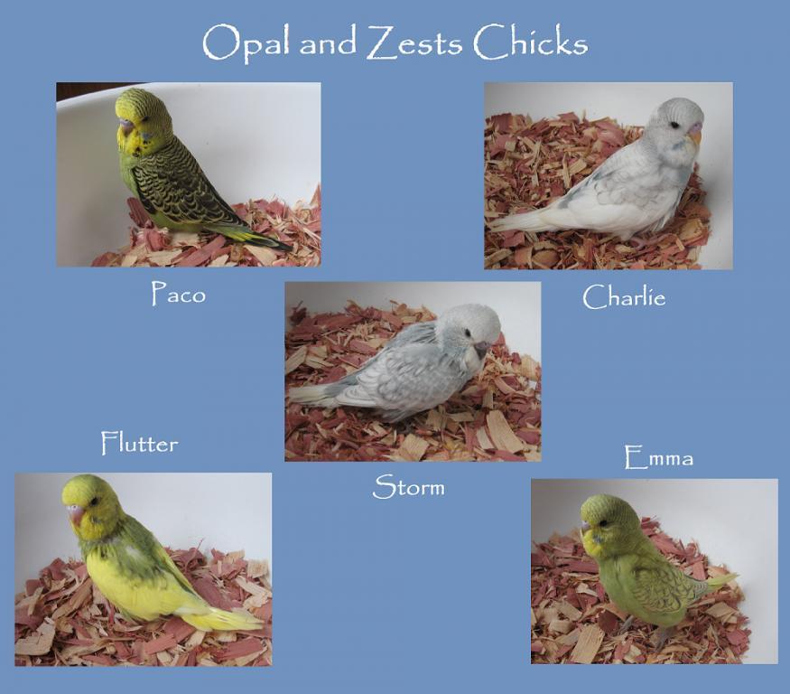 Gold face iris color-opal-zests-chicks-2.jpg