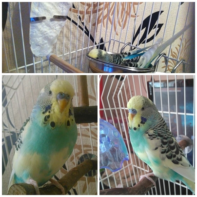 Male budgie free for good home!-page.jpg