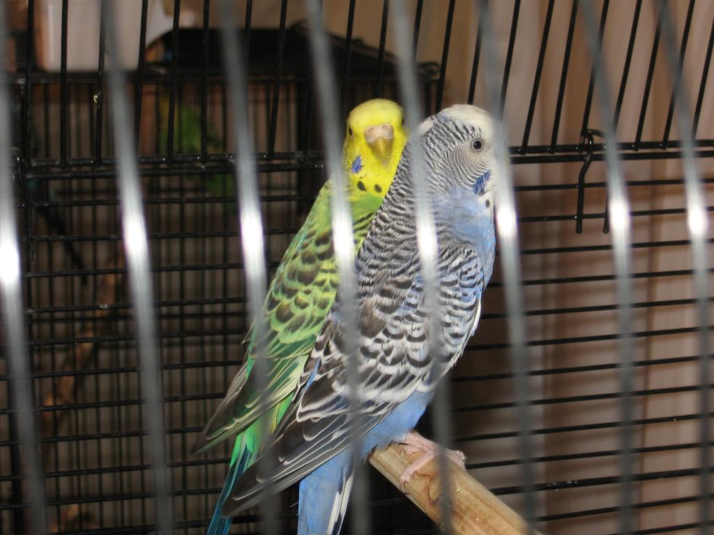 Zeus and Violet's chicks-parakeets-other-birds-040.jpg