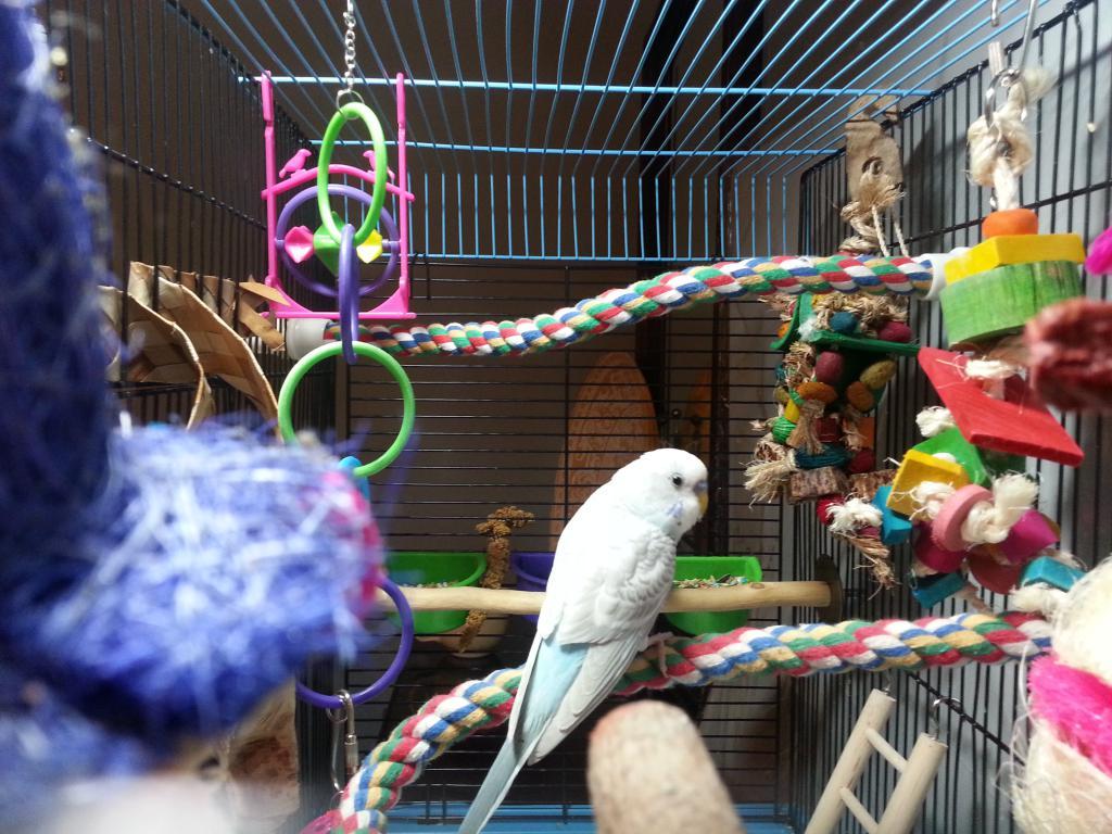 Sherlock and Watson (males, hopefully?) ha-parakeets3.jpg