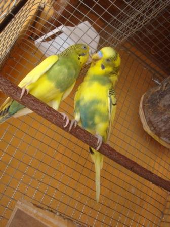 my yellow baby has blue feathers :)-parents.jpg