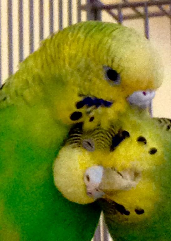 Can't keep budgies-patiently-preening.jpg