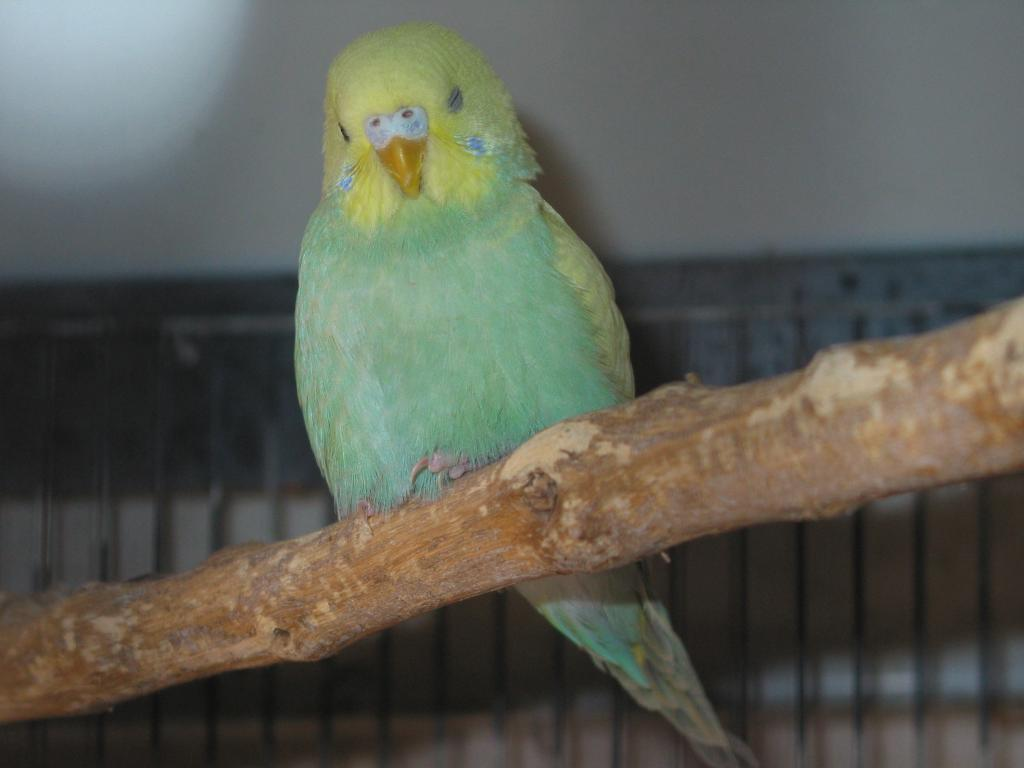 My budgies want to know their mutations, please-perruches157.jpg