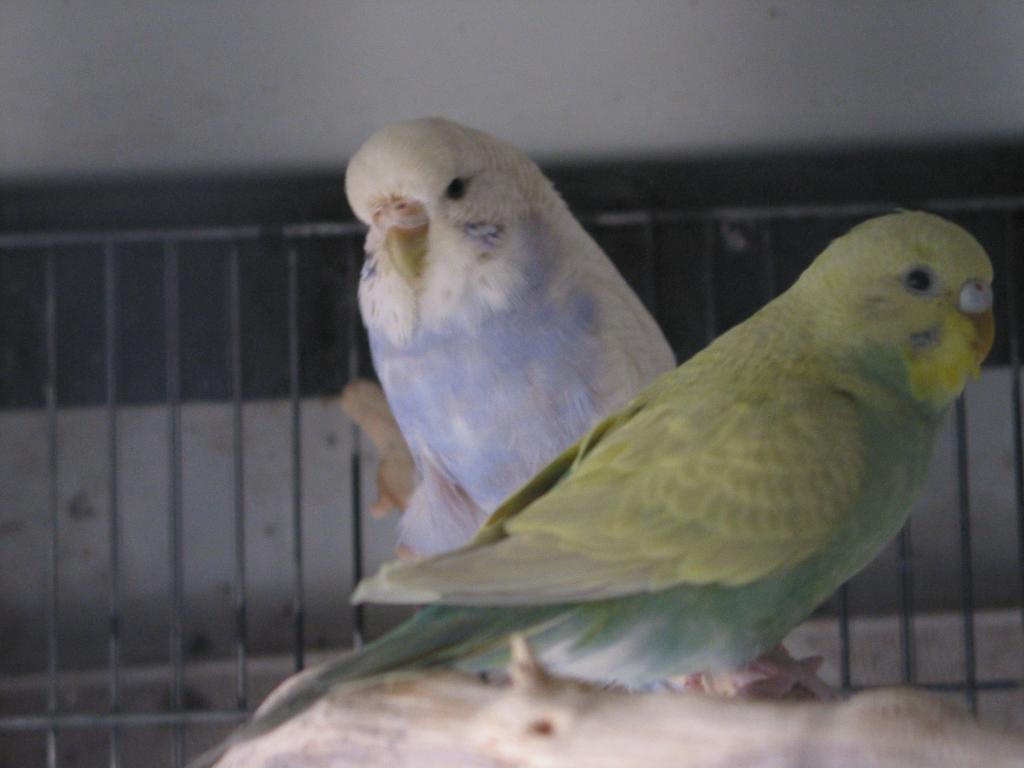 My budgies want to know their mutations, please-perruches4-158.jpg