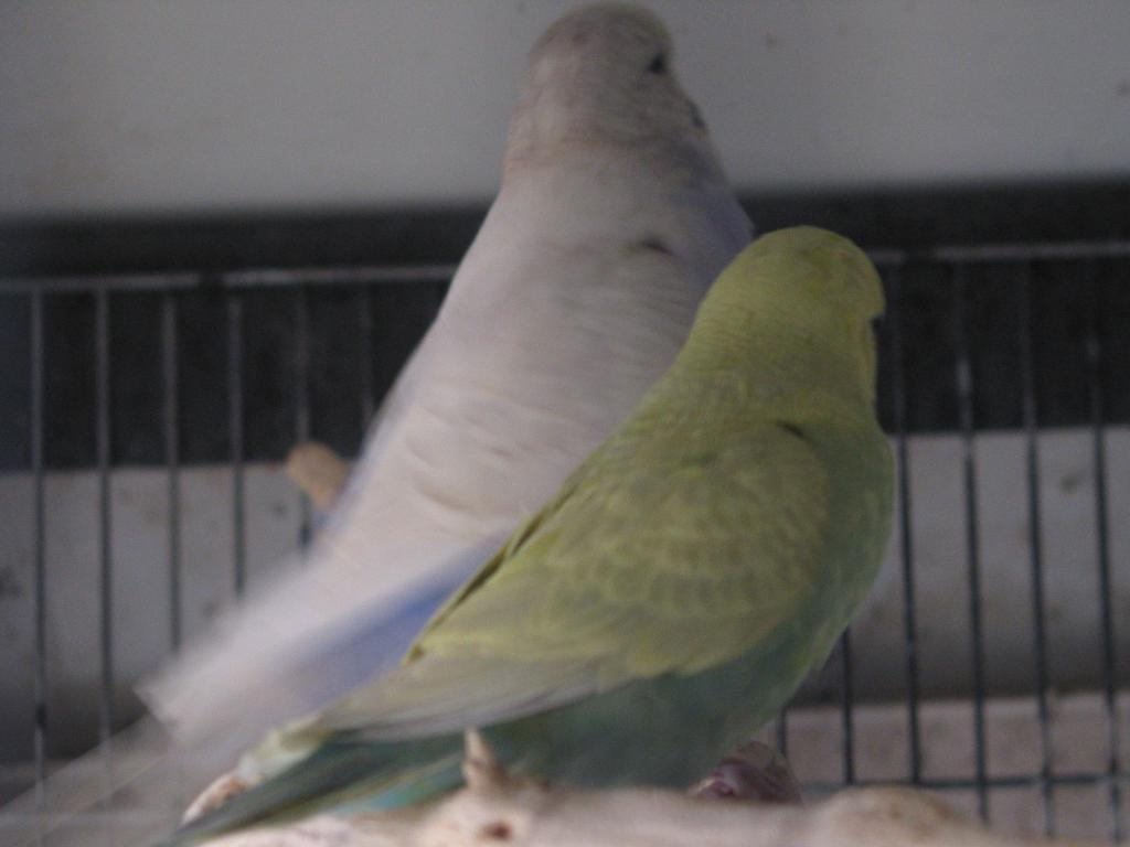 My budgies want to know their mutations, please-perruches4-161.jpg
