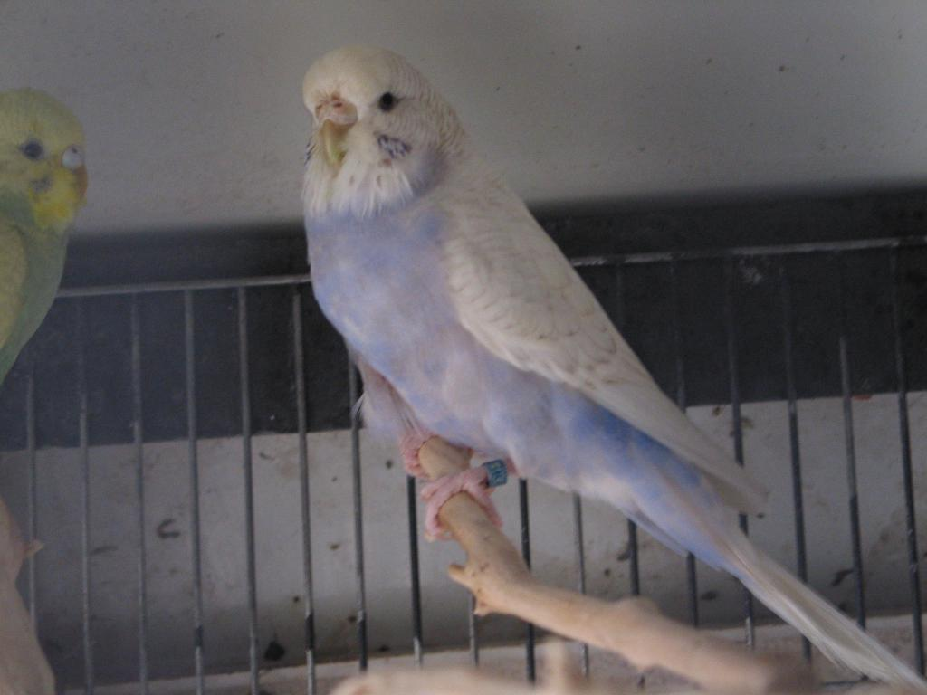 My budgies want to know their mutations, please-perruches4-165.jpg