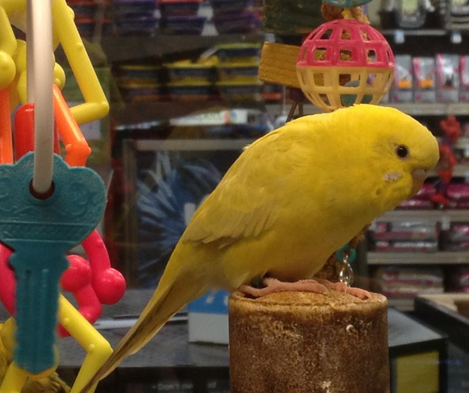 Petco budgie with really rare mutation?-petco-clearbody-4.jpg