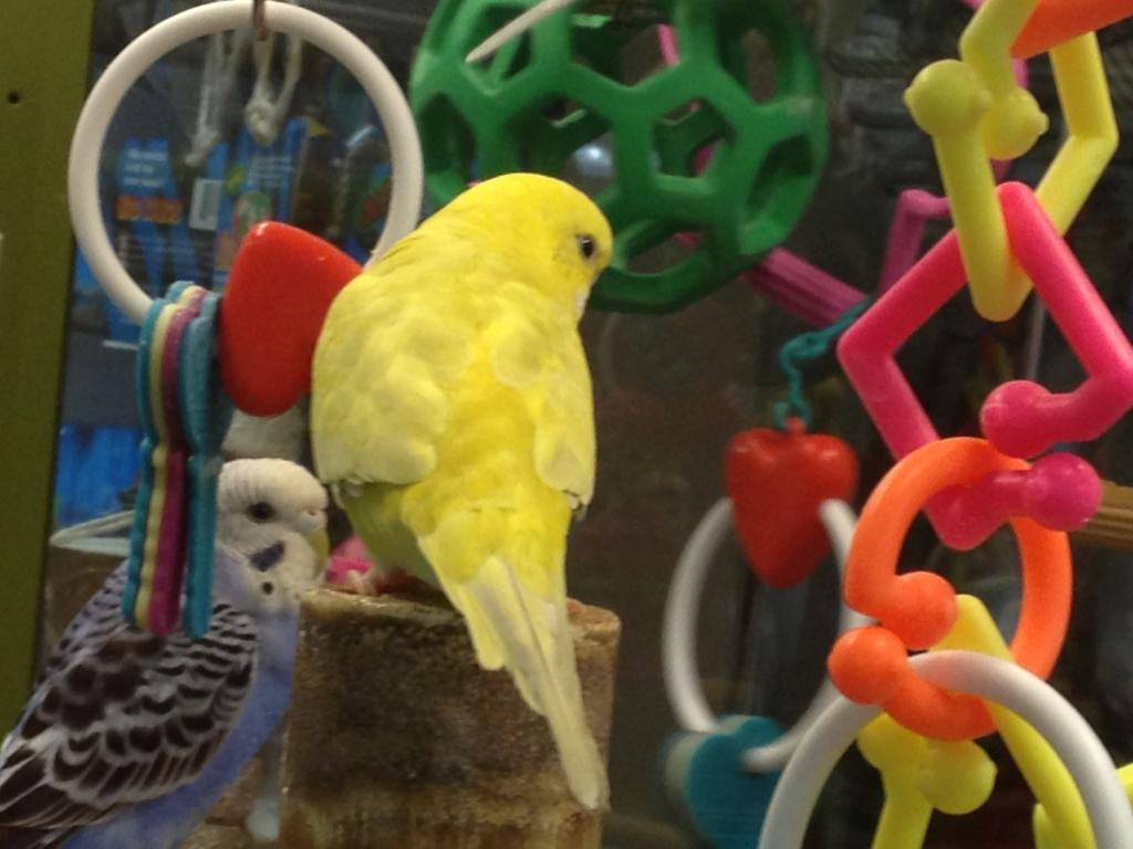Petco budgie with really rare mutation?-petco-clearbody-6.jpg