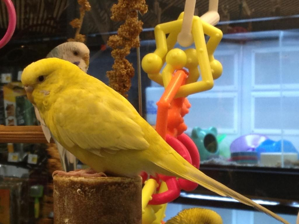 Petco budgie with really rare mutation?-petco-clearbody-7.jpg