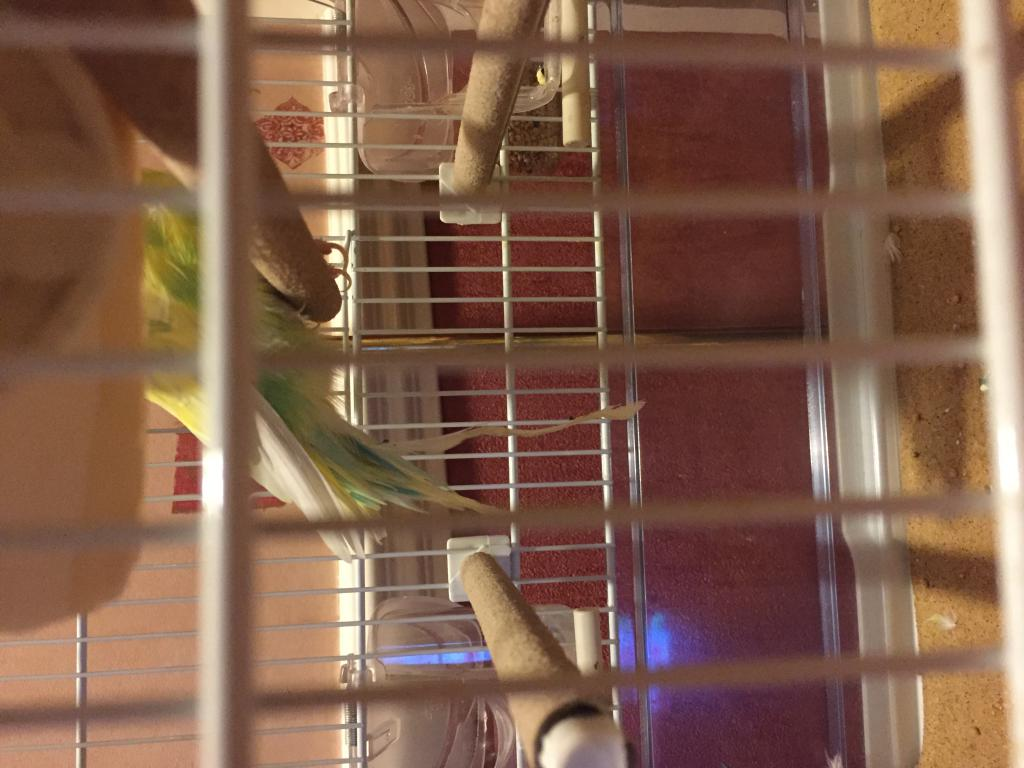 Budgie feather Help-photo-13-09-2016-8-21-30-pm.jpg