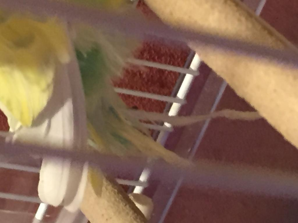 Budgie feather Help-photo-13-09-2016-8-22-11-pm.jpg