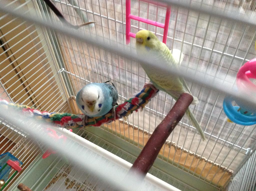 The sex of my Parakeets ?-photo-2.jpg