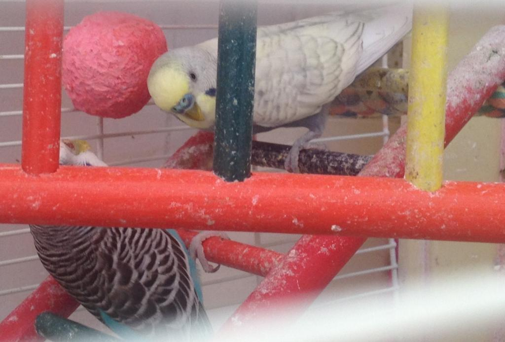 What mutation is this budgie?-photo-2-.jpg