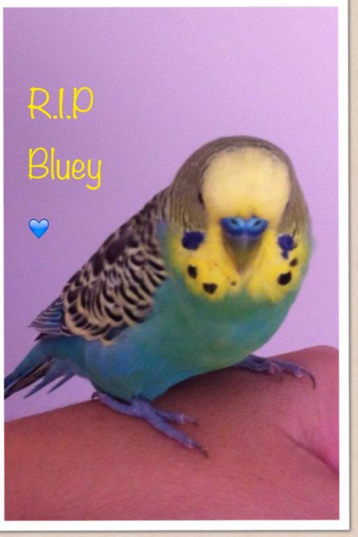 Rip Bluey-photo-2-.jpg
