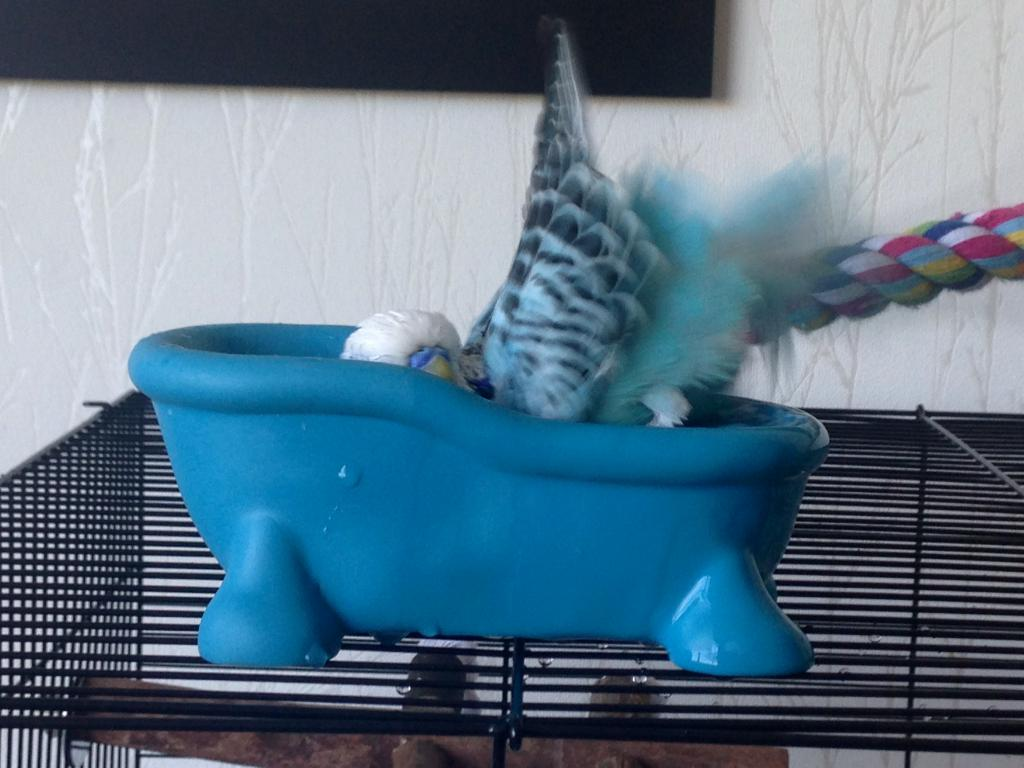 Budgie bathtub-photo-22-.jpg