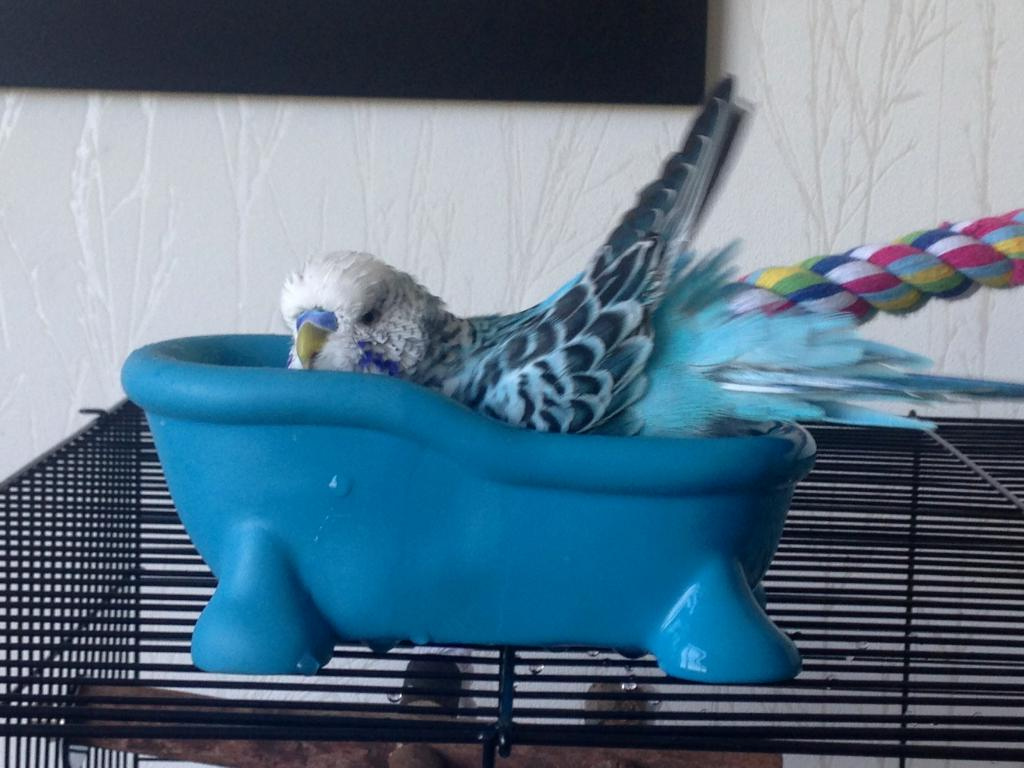 Budgie bathtub-photo-23-.jpg