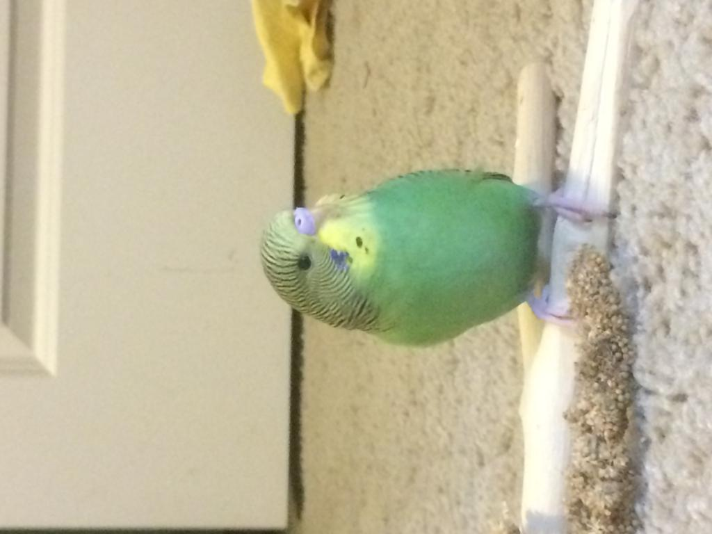 Young budgie Gender-photo-may-12-12-38-12-pm.jpg