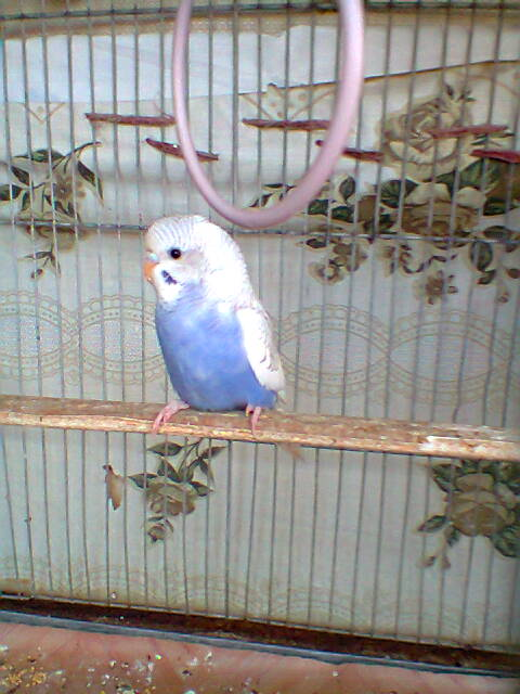 My Budgies Collection-photo0263.jpg