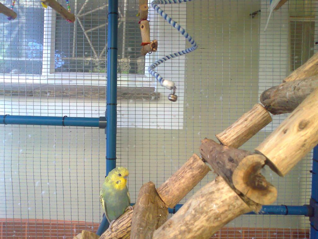 2 new budgies from the South (part 1)-photo0264.jpg