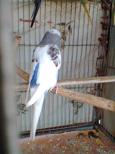 My Budgies Collection-photo0265.jpg