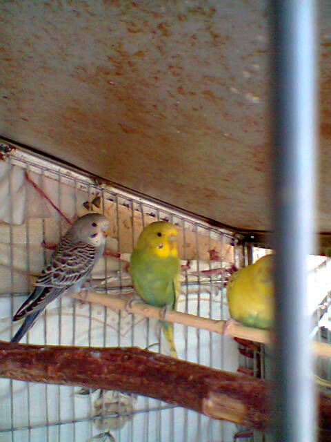 My Budgies Collection-photo0266.jpg
