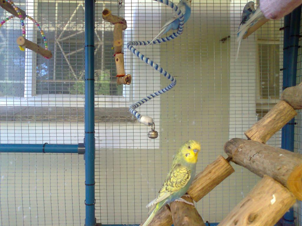 2 new budgies from the South (part 1)-photo0268.jpg