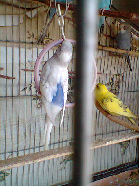 My Budgies Collection-photo0268.jpg