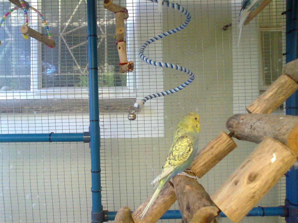2 new budgies from the South (part 1)-photo0269.jpg
