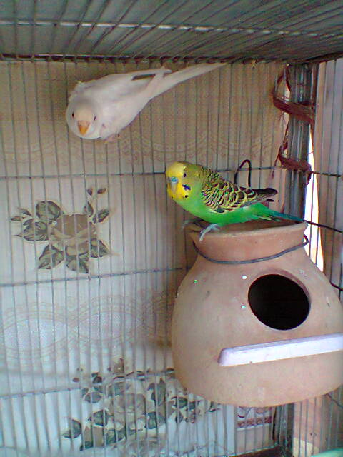 My Budgies Collection-photo0270.jpg