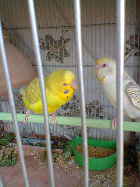 My Budgies Collection-photo0271.jpg
