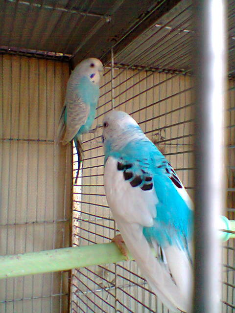 My Budgies Collection-photo0272.jpg
