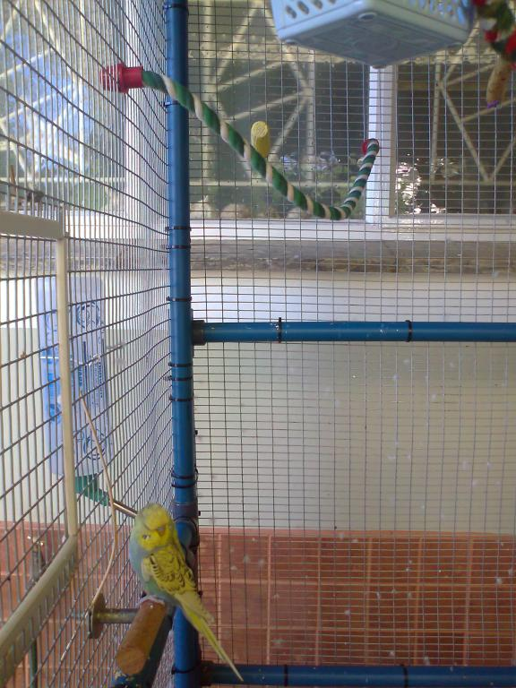 2 new budgies from the South (part 1)-photo0273.jpg