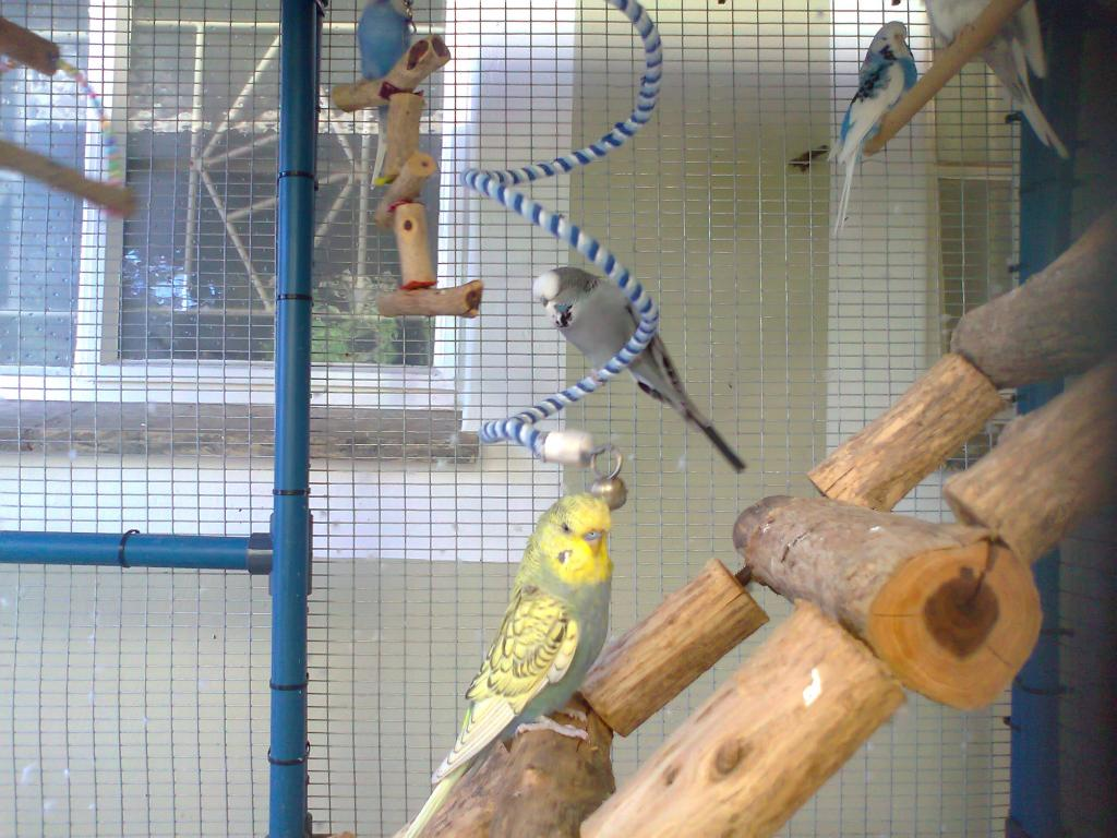 2 new budgies from the South (part 1)-photo0275.jpg
