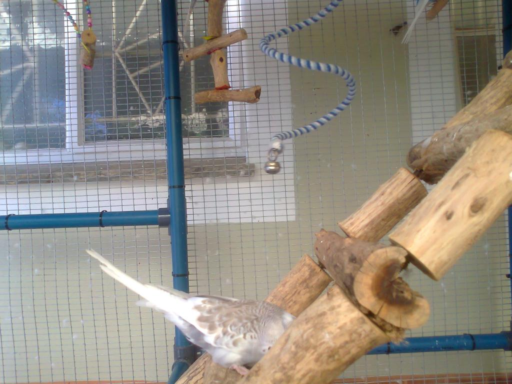 2 new budgies from the South (part 2)-photo0293.jpg